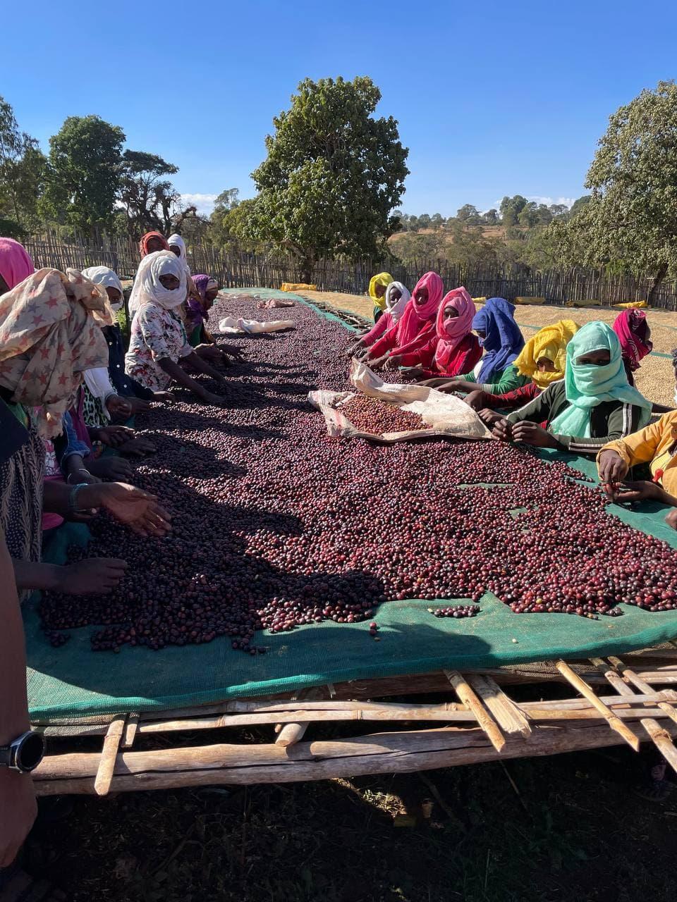 Новый урожай кофе из Эфиопии